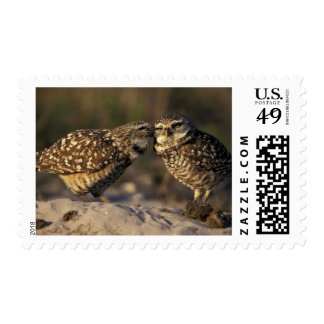 Florida, Fort Myers. Burrowing Owl pair bonding Postage Stamp