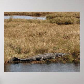 Florida Gator in a Marsh Poster