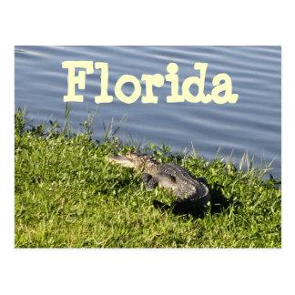 Florida Gator Postcard