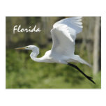 Florida Great White Egret Post Cards