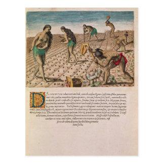 Florida Indians planting maize Postcard