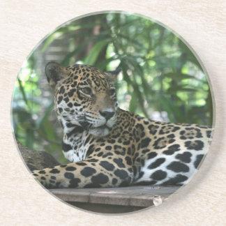 Florida Jaguar looking back lying down Beverage Coaster