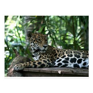 Florida Jaguar looking back lying down Postcard