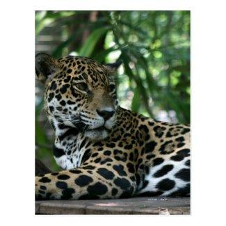 Florida Jaguar looking back lying down Postcards