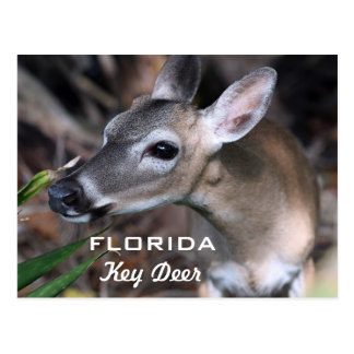 Florida Key Deer Postcard, Version A Postcard