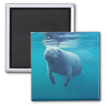 Florida Manatee 2 Inch Square Magnet