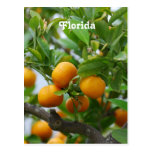 Florida Oranges Postcard