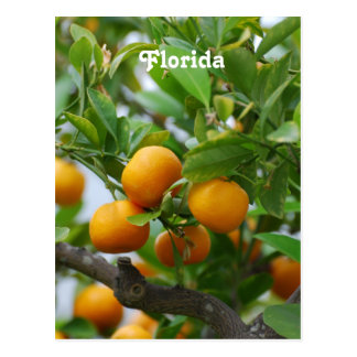 Florida Oranges Postcard