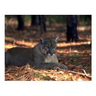 "Florida """"""""Panther"""""""" (Cougar) lying down Postcard"