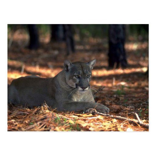 "Florida """"""""Panther"""""""" (Cougar) lying down Post Card"