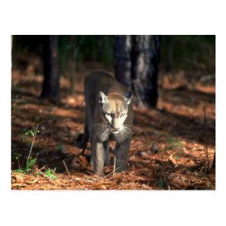 """Florida """"""""""""""""Panther"""""""""""""""" (Cougar) Postcard"""