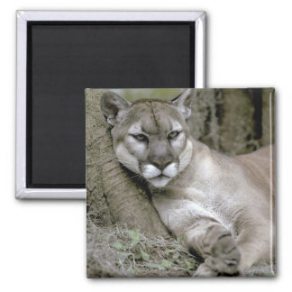 Florida panther, Felis concolor coryi, 2 Inch Square Magnet