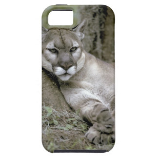 Florida panther, Felis concolor coryi, iPhone 5 Covers