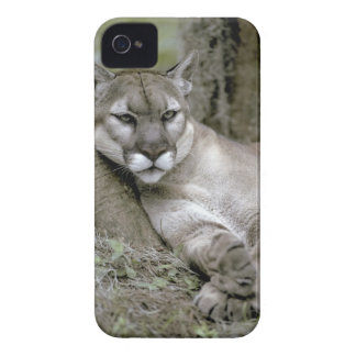 Florida panther, Felis concolor coryi, Case-Mate iPhone 4 Case