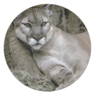 Florida panther, Felis concolor coryi, Melamine Plate