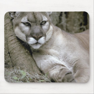 Florida panther, Felis concolor coryi, Mouse Pad