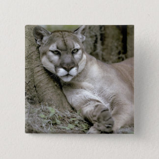 Florida panther, Felis concolor coryi, Pinback Button