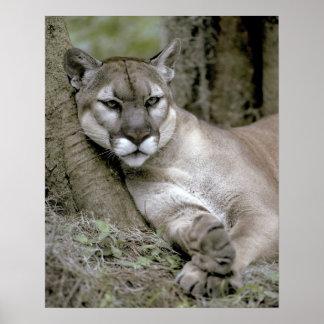 Florida panther, Felis concolor coryi, Poster