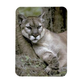 Florida panther, Felis concolor coryi, Rectangular Photo Magnet