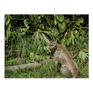 Florida Panther National Wildlife Refuge Postcard