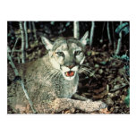 Florida Panther Post Card