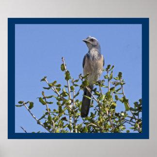 Florida Scrub Jay - Environmental Portrait Poster