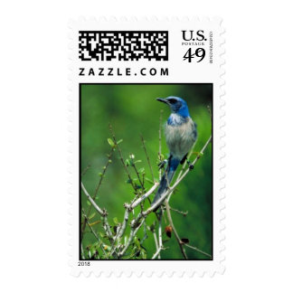 Florida scrub-jay postage stamps
