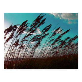 Florida seaoats against teal sky dune backdrop postcard