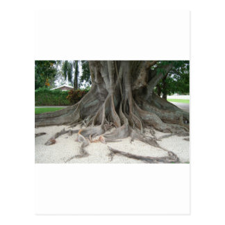 Florida State Champion Mysore Fig Tree Roots Postcard
