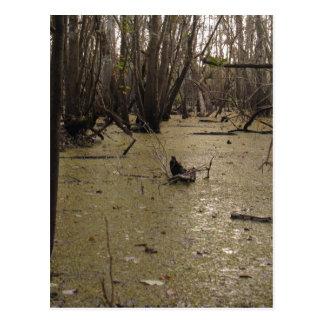 Florida Swamp Postcard