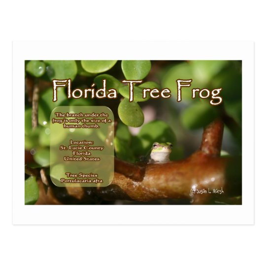 Florida Tree Frog Design with explanation text Postcard