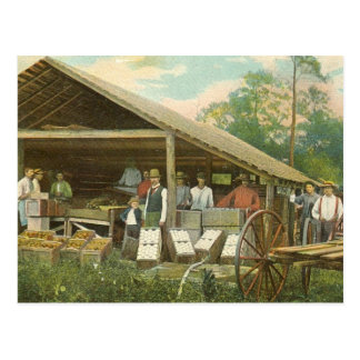 "Florida Vintage Postcard, ""Packing Oranges"" Postcard"