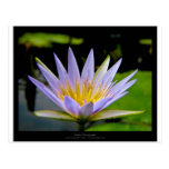 Flower 026 Blue Water Lily Postcard