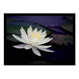 Flower 039 White Water Lily Postcard