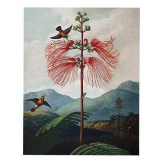 Flower Art Forms Large Flowering Sensitive Plant