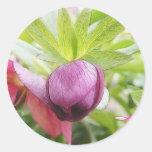 Flower Bud - Helleborus x hybridus Classic Round Sticker