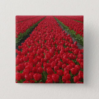 Flower field of tulips, Netherlands, Holland Button