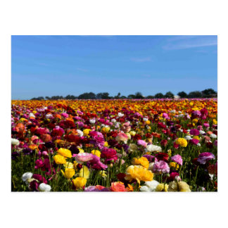 Flower fields in California Postcard