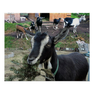 Flower (goat) with Goat Family Poster
