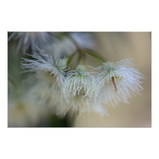 Flower Gum - Australian Native Tree Posters