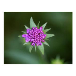 Flower of a Scabiosa lucida Postcard