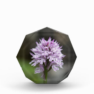 Flower of a three-toothed orchid Neotinea trident Acrylic Award