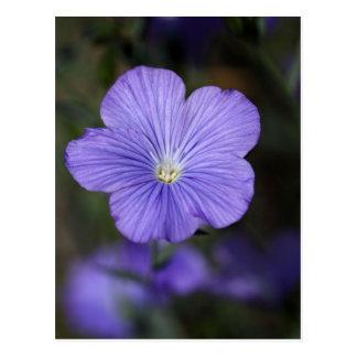 Flower of perennial or blue flax postcard