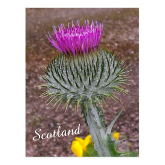 Flower of Scotland, the Thistle Postcard