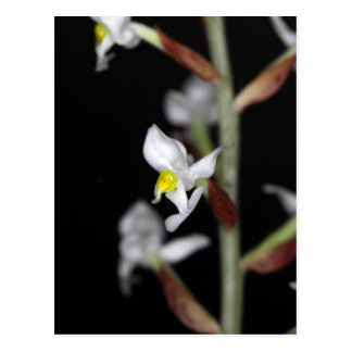Flower of the orchid Ludisia discolor Postcard
