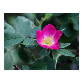 Flower of the wild Soft Downy Rose Postcard