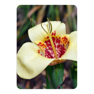 Flower of Tigridia pavonia or jockey's cap lily Card