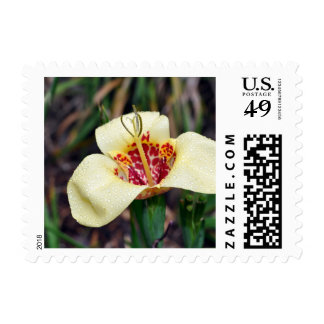Flower of Tigridia pavonia or jockey's cap lily Stamp