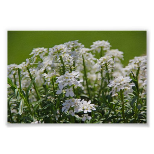 Flower Photography - Candy Tuft - Green and White Posters
