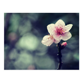Flower Plum Blossom Nature Photography Postcard